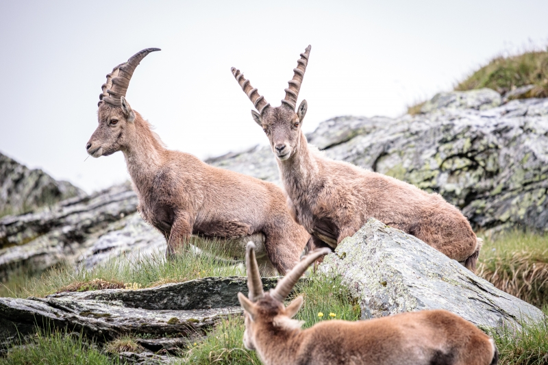 Kings of the Alps - Observing the ibexes